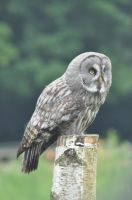 Molly the Great Grey Owl by aragornsgirl333