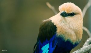 Blue Bellied Roller 4 by thephotographicgenus
