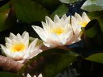 Nymphaea lotus thermalis by ankhmyth