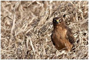 Northern Harrier by arwulf