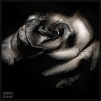 Dismal rose I by Baron-of-Darkness