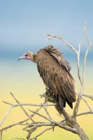 Hooded vulture by 00Tiger00