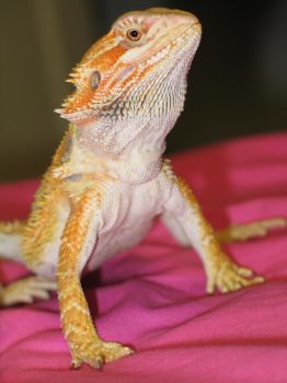 Tequila proud by Bearded-Dragon-Freak