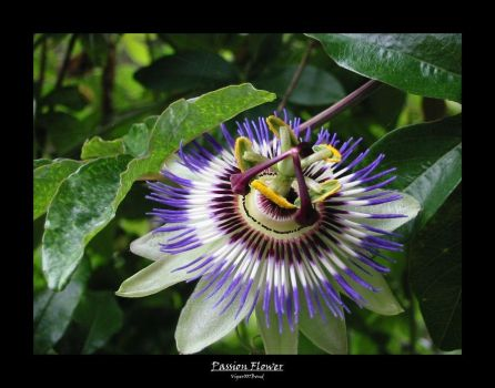 Passion Flower - Reupload by viper007bond