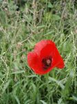 red in wild grass by sull