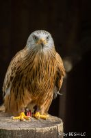 Red Kite by BESH-LC