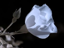 Another Blue Rose by Phostructor