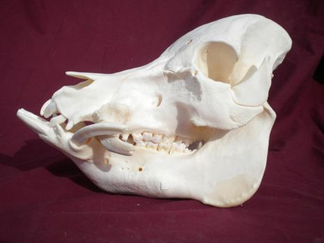 Pot Bellied Pig Skull by Minotaur-Queen-Stock