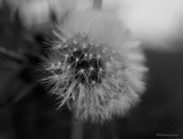 Dandelion by WhiteHairLivia