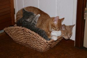 Three cats barely fitting inside a small basket by PeterHebels
