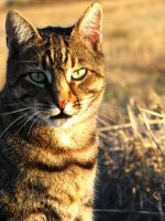 Beautiful Tabby by Nyla-Cat