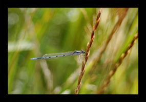 Blue Damsel Fly by Zoomwafflez