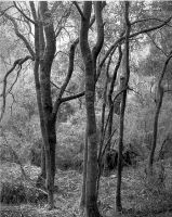Acacias in Blackwood by lawrencew