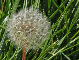 dandilion by poeticwriter007