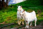 Goats by andreiciungan