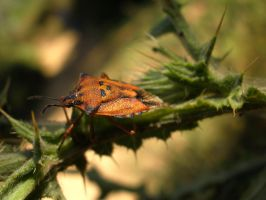 Heteroptera II by LetoCrows