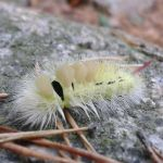 Pale Tussock by LimboTheLost