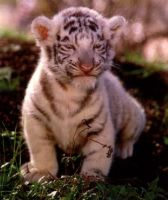 Tiger Cub by DarkerSuperOne