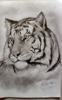 Tiger by ColdEver