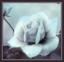 Watercolour Rose by Layla-Rose