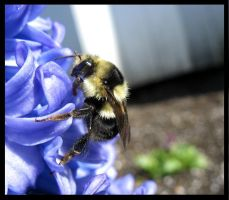 Bumblebee on hyacinth by who-scared-you