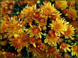 Chrysanthemums by Lupsiberg