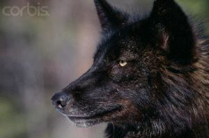 Black Wolf by 100percentWOLF-LOVER