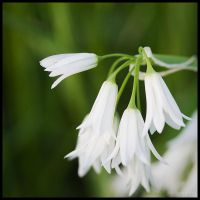 white bells by Vemp