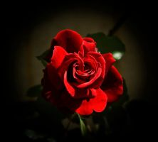 One Red Rose by DarkBorder