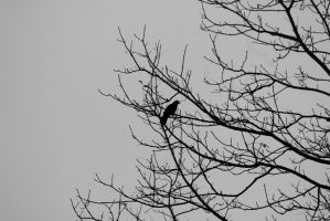 Black Crow by No-Reservation-Photo