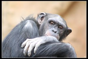 Chimpanzee 2 by Globaludodesign