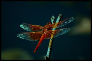 Dragonfly 2 by Ashz