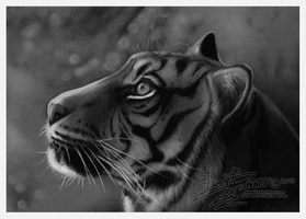 Tiger Charcoal Drawing by Spike654