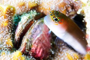 Blenny by Saad-A