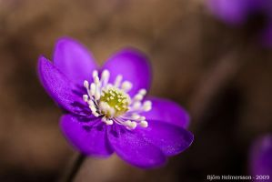 Anemone Hepatica by Gilgond