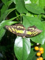 Brown and Yellow Butterfly by LadyDazz