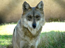 Nov1: Mexican Wolf 5 by FamilyCanidae