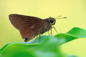 Skipper sp 120211 by inckurei