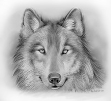 Wolf by gregchapin