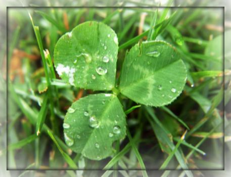 Clover And Water Drops by Rainbow826