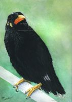 Hill Myna by makangeni