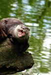 Angry Otter by Mame3