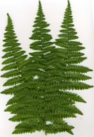 Scanned fern stock by rustymermaid-stock