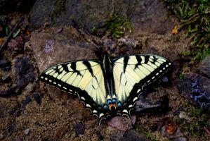 Mill and Stream In-Frame - Tiger Swallowtail by wetdryvac