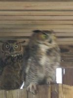 Young Great Horned Owls 3 by Windthin