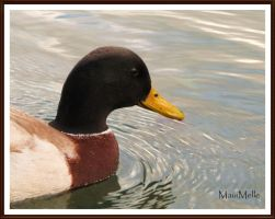 Duck. by MauiMelle