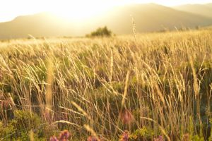 Golden Field by FilippaID