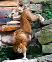 lion down by TlCphotography730