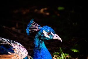 Peacock at Elvenden Forest 1 by AnnieTheEagle