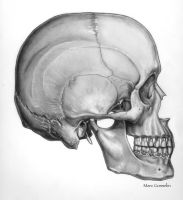 Skull, Lateral view by marcgosselin